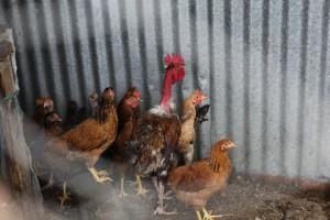 Hønehold er en nyttig biinntekt for mange av kvinnene i Tuinuane.